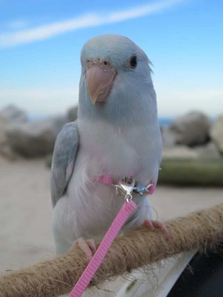 s318502375458997581_p2_i1_w749 bird harness for parakeet, parrotlet and green cheek conures